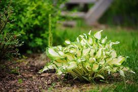 Funkia ogrodowa (hosta) - odmiany, stanowisko, uprawa, pielęgnacja