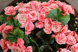 Begonia elatior (zimowa) na balkon i do ogrodu - pielęgnacja i uprawa