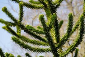 Araukaria - odmiany do domu i ogrodu, wymagania, uprawa, pielęgnacja