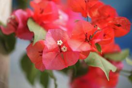 Bugenwilla - odmiany, wymagania, uprawa, pielęgnacja, kwitnienie