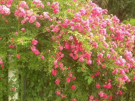 Róże pnące powtarzające kwitnienie i kwitnące cały sezon - co warto wiedzieć?