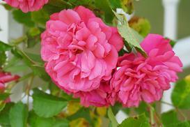 Rosa centifolia (róża stulistna) – uprawa, pielęgnacja, wybór sadzonki