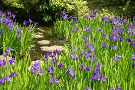 Kosaćce w ogrodzie - odmiany, uprawa, pielęgnacja, kwitnienie