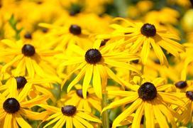 Rudbekia - wysiew, uprawa, pielęgnacja, stanowisko dla pięknego kwiatu