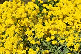Smagliczka - odmiany, uprawa, pielęgnacja, sadzonki, porady