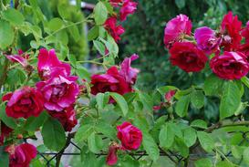 Róże pnące szybko rosnące - zobacz, jak szybko rosną te gatunki róż