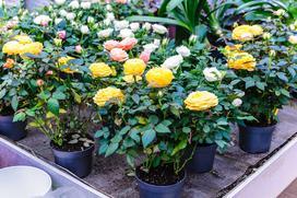 Kiedy sadzić róże? Jak sadzić róże prawidłowo? Oto szczegółowy poradnik