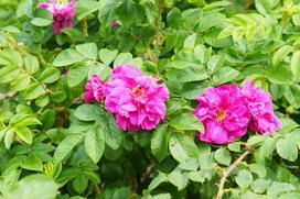 Róża pomarszczona w ogrodzie - wymagania, odmiany, uprawa, cięcie