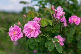 Róża damasceńska - popularne odmiany, właściwości, uprawa, pielęgnacja