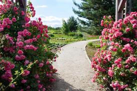 Róże pnące - odmiany, sadzenie, uprawa, pielęgnacja, porady praktyczne