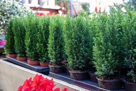 Cyprysik w ogrodzie - rodzaje, pielęgnacja, polecana ziemia, wybór sadzonki