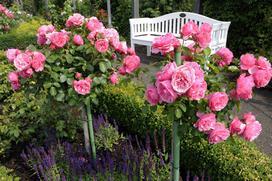 Róża na pniu – poznaj wysokopienne róże szczepione na pniu