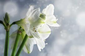 Amarylis - piękny kwiat doniczkowy - uprawa, pielęgnacja, podlewanie