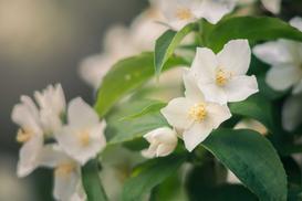 Jaśminowiec w ogrodzie - stanowisko, wymagania, odmiany, uprawa, pielęgnacja