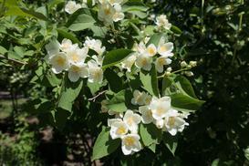 Jaśminowiec wonny - opis odmiany, uprawa, pielęgnacja, rozmnażanie, porady
