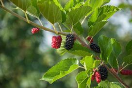 Morwa czarna i jej wyjątkowe owoce - właściwości, zastosowanie, porady