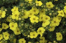 Pięciornik w ogrodzie - wymagania, odmiany, uprawa, nawożenie, cięcie