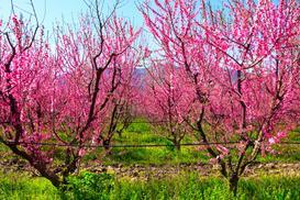 Sadzenie brzoskwini w Polsce - odmiany, uprawa, pielęgnacja, cięcie