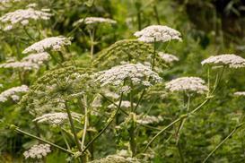 Barszcz Sosnowskiego - niebezpieczna roślina powodująca rany i oparzenia