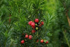 Cis - drzewo śmierci w ogrodzie - uprawa, pielęgnacja, wymagania
