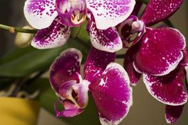 Phalaenopsis (falenopsis) – uprawa, pielęgnacja i podlewanie pięknego storczyka