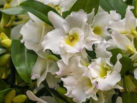 Storczyk dendrobium nobile – podstawowe zasady uprawy i pielęgnacji