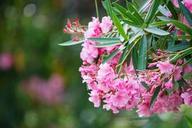 Oleander bez tajemnic - uprawa, pielęgnacja, rozmnażanie, porady