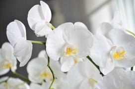 Biały storczyk - opis odmiany, ceny w sklepach, pielęgnacja, podlewanie