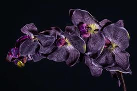 Czarny storczyk - niepokojący i zaskakujący kwiat - opis, cena, odmiany