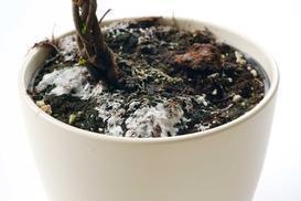 Pleśń w doniczce z kwiatami - przyczyny, zwalczanie, zapobieganie, porady