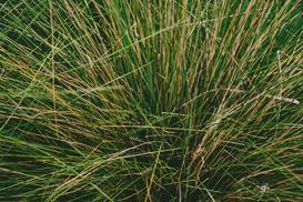 Carex buchananii (turzyca buchanana) - uprawa, cięcie, ceny sadzonek