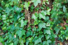 Bluszcz hedera - wymagania, sadzenie, pielęgnacja, porady praktyczne