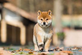 Cena shiba inu - zobacz, ile kosztuje szczeniak popularnej rasy psa