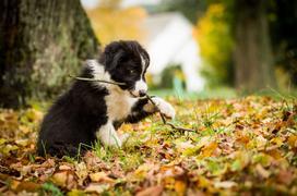 Cena border collie - zobacz, ile kosztuje młody szczeniak z rodowodem