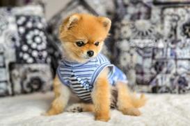 Cena psa Boo - sprawdź, ile kosztuje szczeniak z hodowli