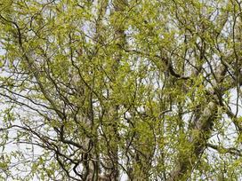 Wierzba mandżurska w ogrodzie - uprawa, rozmnażanie, cięcie, cena zakupu