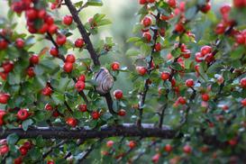 Krzew ozdobny irga - odmiany, wymagania, uprawa, pielęgnacja