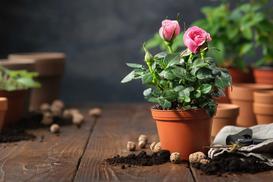 Jak wybrać sadzonki róż? Wyjaśniamy i podajemy ceny sadzonki róży