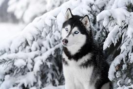 Cena husky - zobacz, ile kosztuje szczeniak z rodowodem