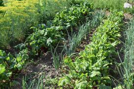 Dobre sąsiedztwo warzyw - w jaki sposób sadzić warzywa w ogródku?