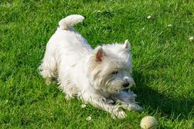 Cena west highland white terriera - sprawdź, ile kosztuje szczeniak z hodowli