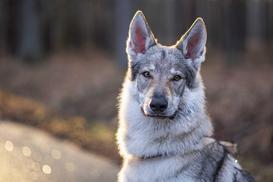 Jaka jest cena wilczaka czechosłowackiego? Zobacz, ile kosztuje szczeniak z hodowli