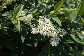Ligustr pospolity - opis, sadzenie, pielęgnacja, uprawa w zimie