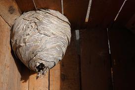 Jak usunąć gniazdo szerszeni? Praktyczny przewodnik