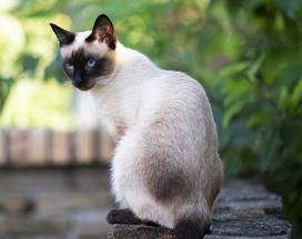 Ile kosztuje kot syjamski? Zobacz, jaka jest cena kota syjamskiego