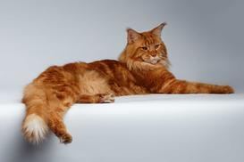 Cena maine coon - zobacz, ile kosztuje młody kot z hodowli