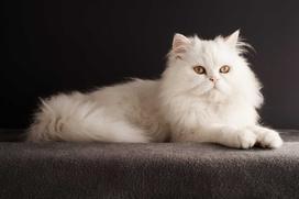 Cena kota perskiego - zobacz, ile kosztują młode rasowe persy