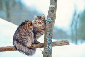 Cena kota syberyjskiego - sprawdź, ile kosztuje młody kociak