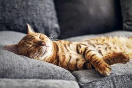 Cena kota bengalskiego - zobacz, ile kosztuje młody kociak