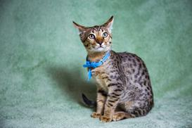 Cena kota savannah - sprawdzamy, ile kosztuje młody kociak